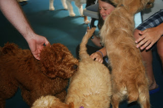 Helping puppies associate hands as being gentle is crucial for a soft mouth